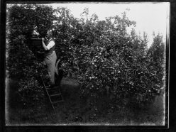Apple picking (1933-36). Turner. T3395/4HP/81-113 (alt. T16/297). Allison Collection, PRONI, Belfast, Northern Ireland.
