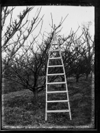 Apple tree ladder (1933-36). Turner, Belfast. T3395/4HP/81-113 (alt. T16/297). Allison Collection, PRONI, Belfast, Northern Ireland.