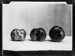 Diseased apples (1936-36). Turner, Belfast. Order 7186 = box, ladder, shed, apples. T3395/4HP/81-113 (alt. T16/297). Allison Collection, PRONI, Belfast, Northern Ireland.